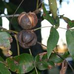 Carya ovata, Shagbark Hickory nuts and leaves