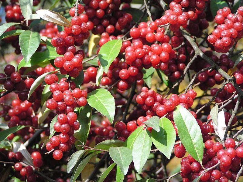 Elaeagnus umbellata, Autumn Olive fruit