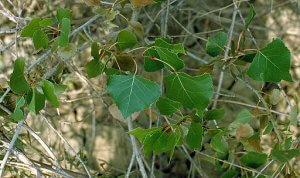 cottonwood buds