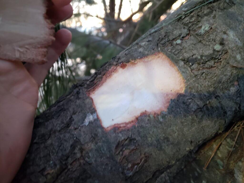 White Pine(Pinus strobus) inner bark)