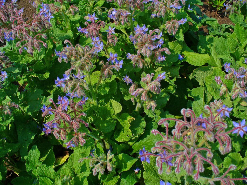 Borago/Starflower (Borago officinalis)