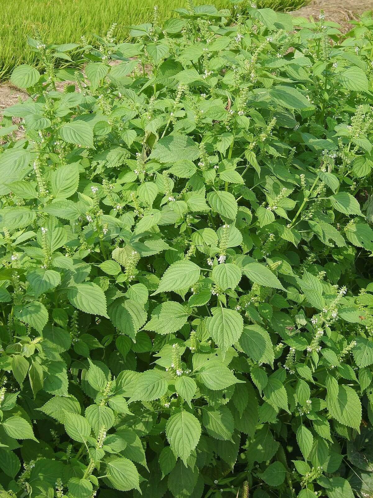 Perilla (Perilla frutescens) Green Variant