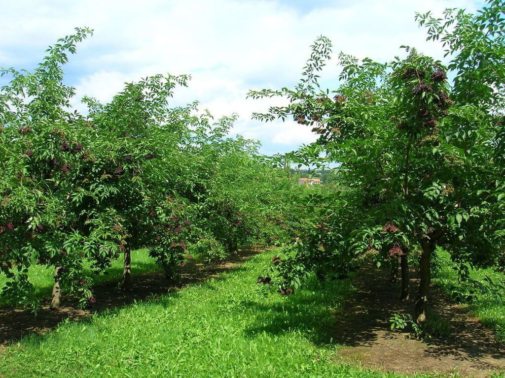 Elderberry (Sambucus Canadensis) Plantation