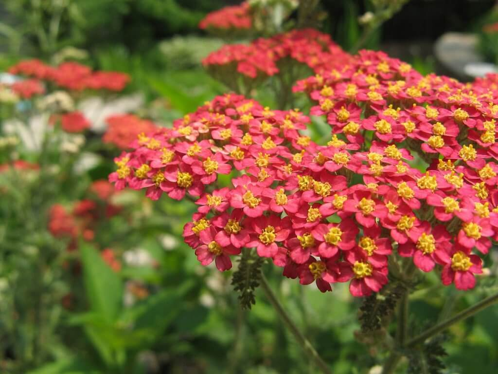 Yarrow (Achillea millefolium) Red Variant