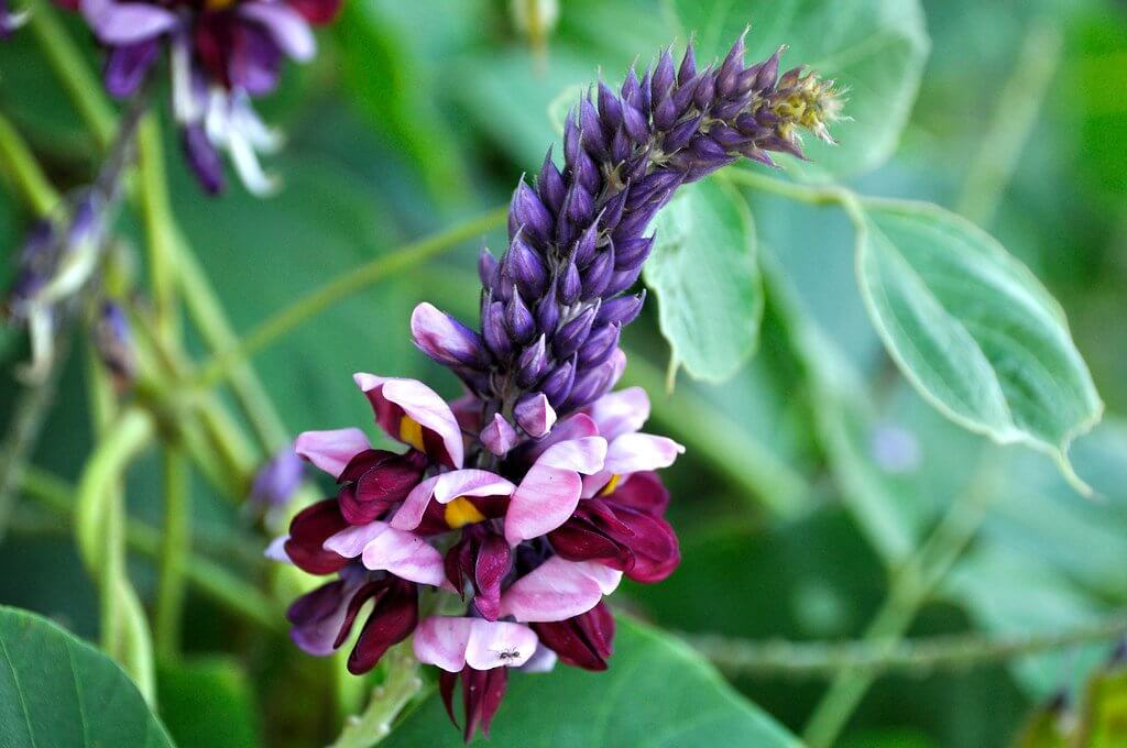 Kudzu (Pueraria montana) Flower