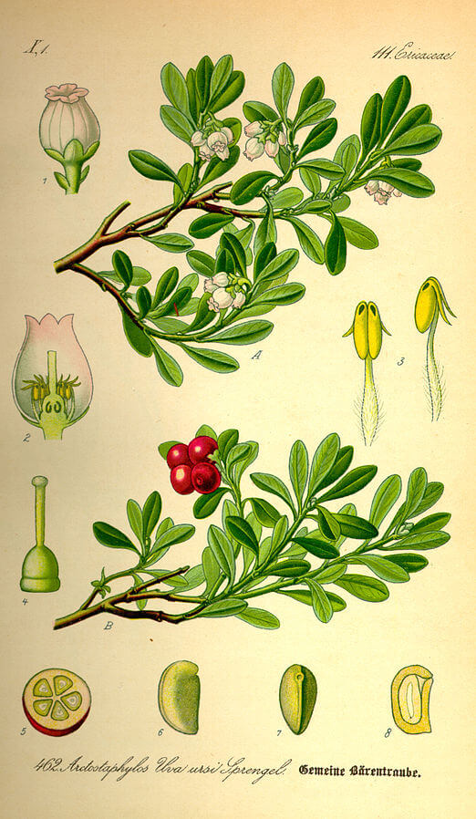 Bearberry (Arctostaphylos uva-ursi) Illustration