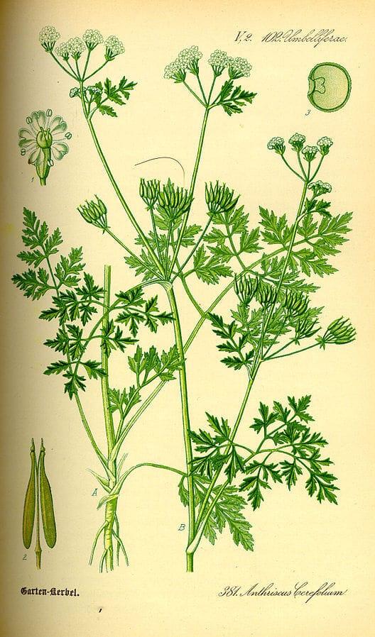 Chervil (Anthriscus cerefolium) Illustration