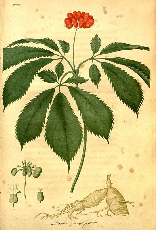 American ginseng (Panax quinquefolius) Illustration