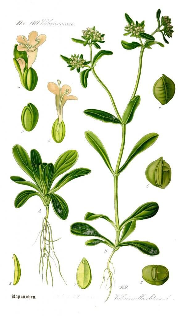 Corn Salad (Valerianella locusta) lllustration