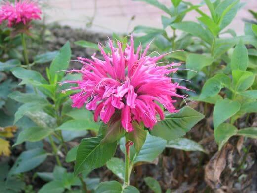 Bee Balm (Monarda Didyma) Pink Flowers