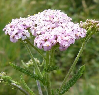 Yarrow (Achillea millefolium) Pink Variant