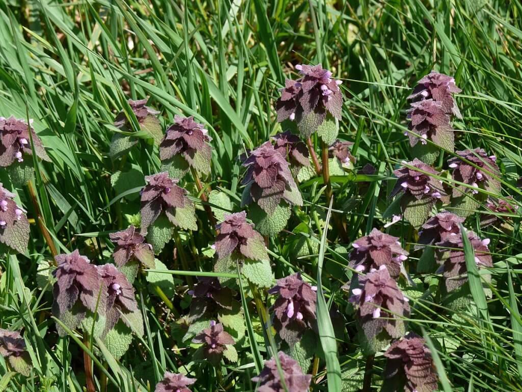 Dead Nettle (Lamium purpureum)
