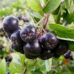 Black Chokeberry (Aronia melanocarpa) Fruits