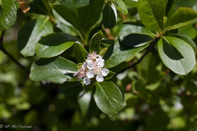 Black Chokeberry (Aronia melanocarpa) Flowers