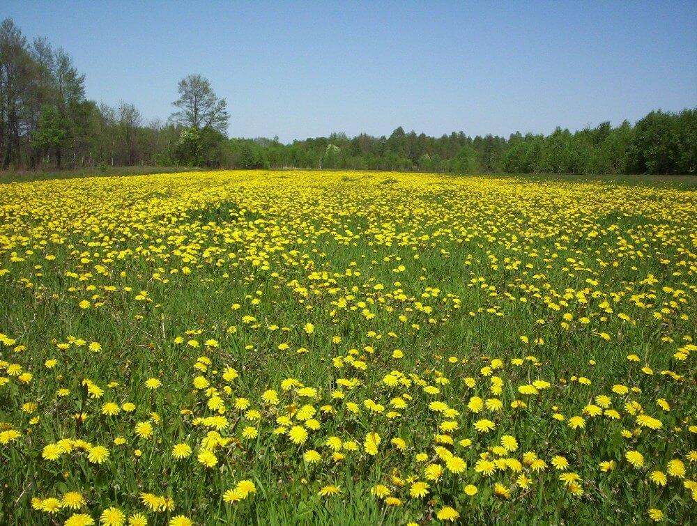 Dandelion (Taraxacum officinale) Field