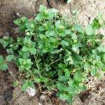 Chickweed (Stellaria Media) Whole Plant