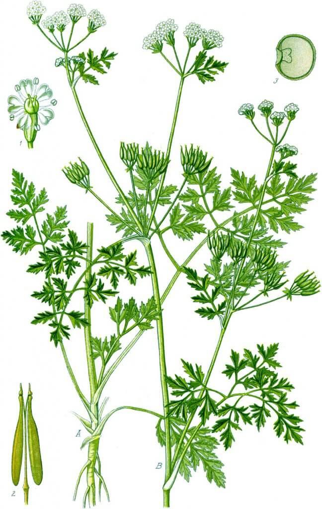 Anthriscus cerefolium Botanical Illustration