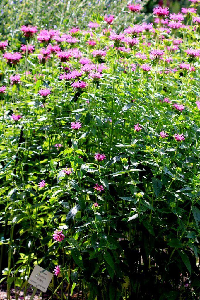 Bee balm flowering