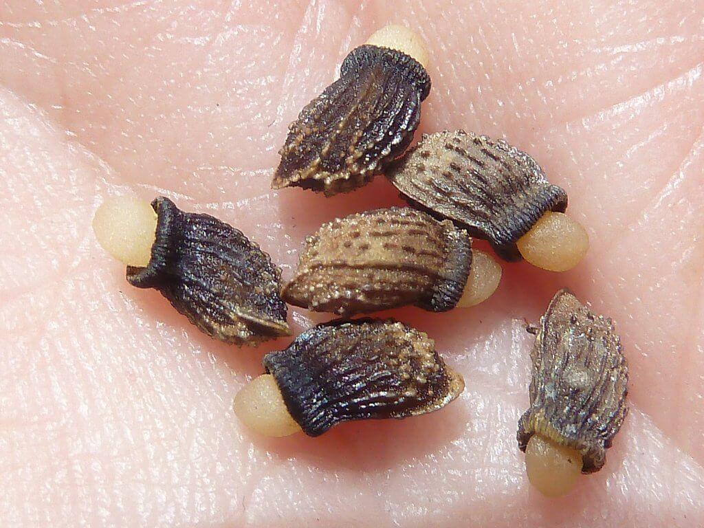 Borage Seeds