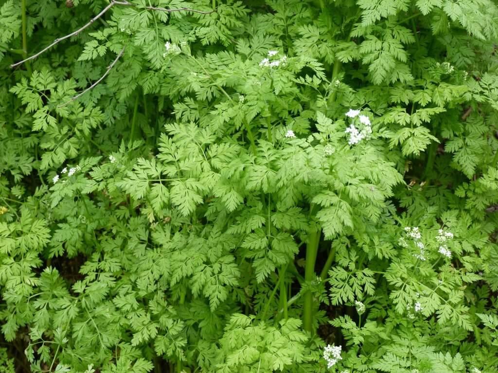 Anthriscus cerefolium foliage