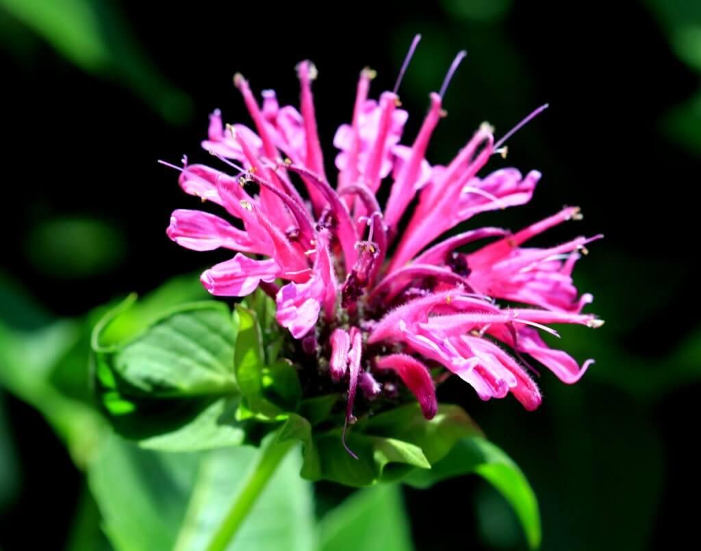 Pink Bee Balm Flower