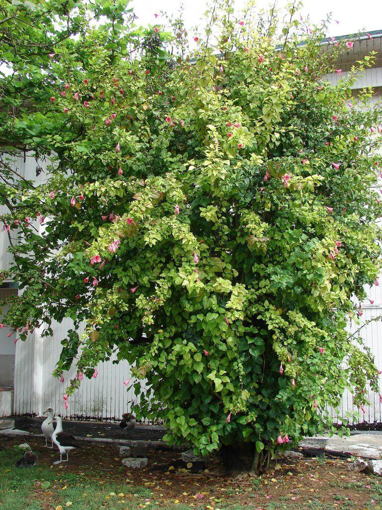 Hibiscus rosa-sinensis habitat