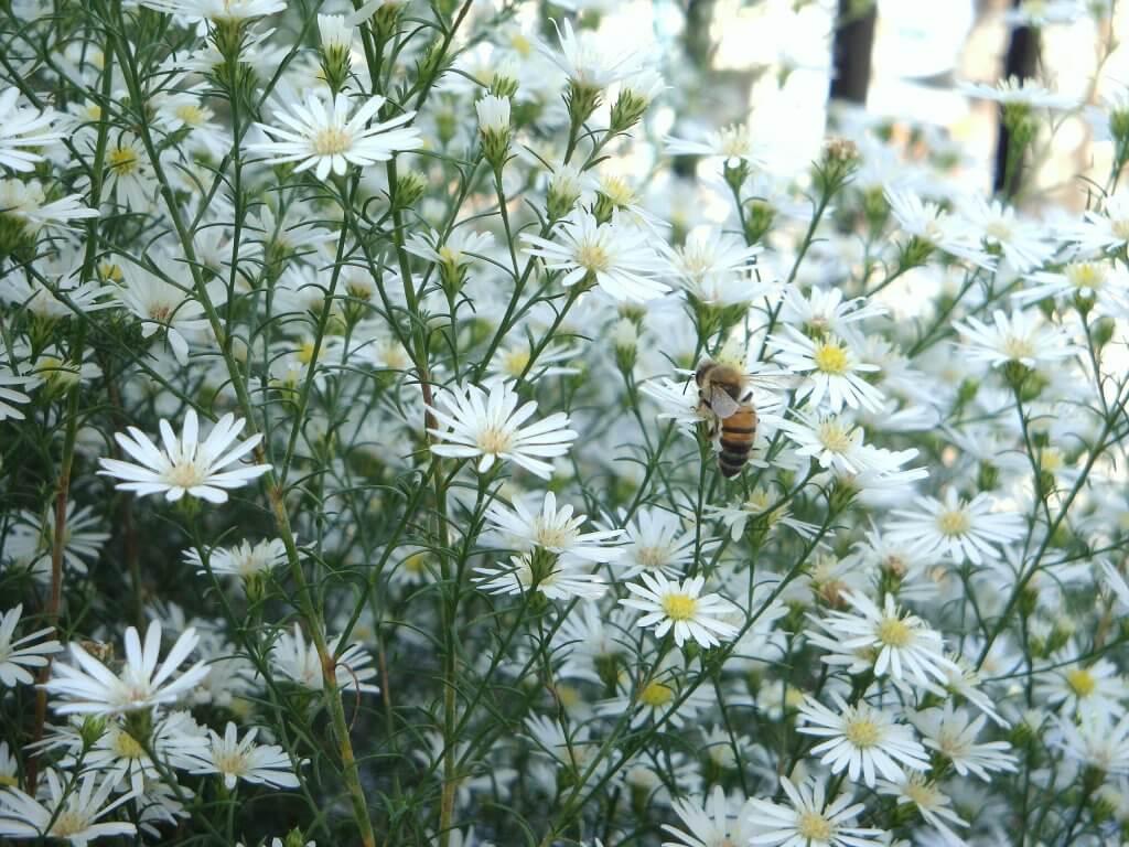 Anthemis cotula flowers