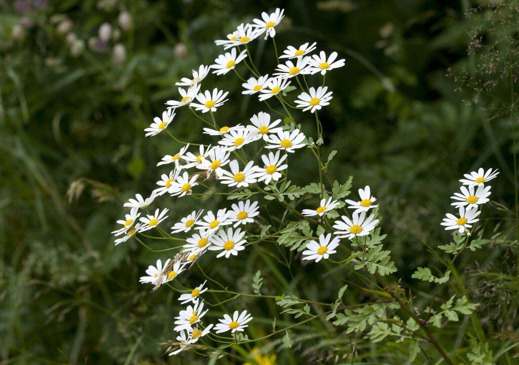 Flowers of Feverfew (Tanacetum parthenium)