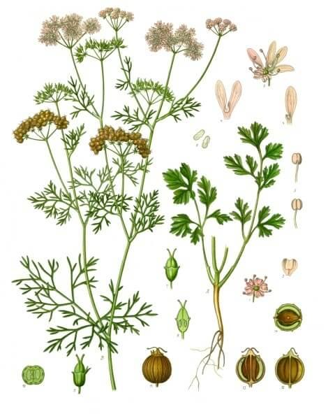 Botanical Illustration of Coriandrum sativum