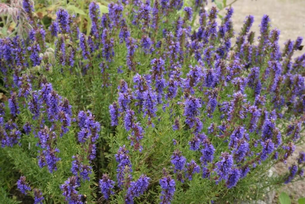 Hyssopus officinalis (Hyssop)