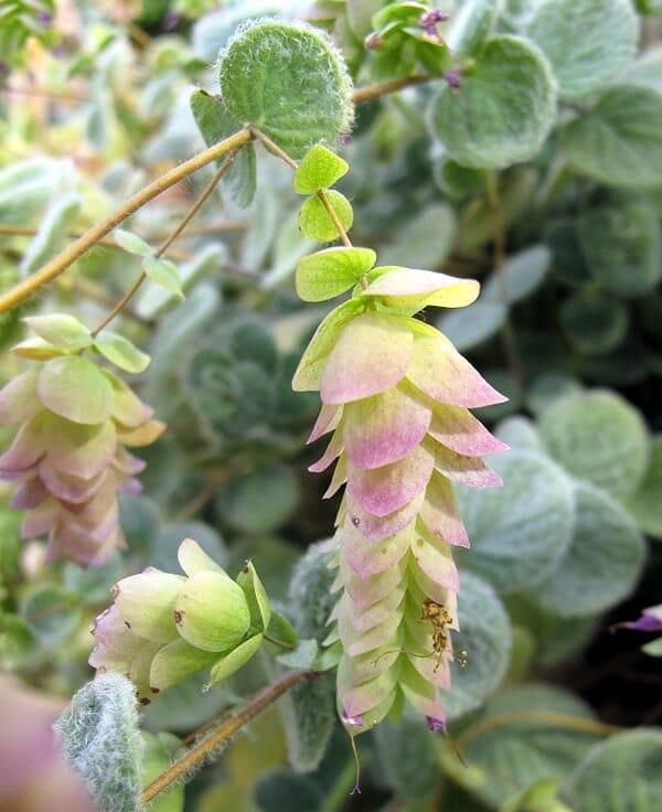 Origanum dictamnus Flowers