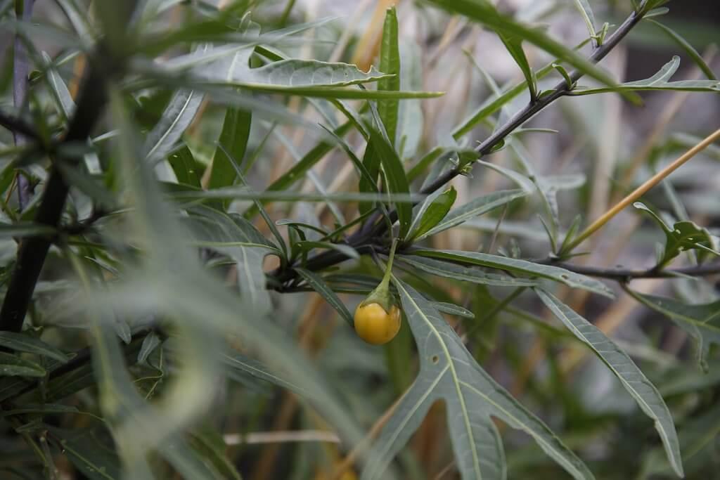 Kangaroo apple (Solanum aciculare)