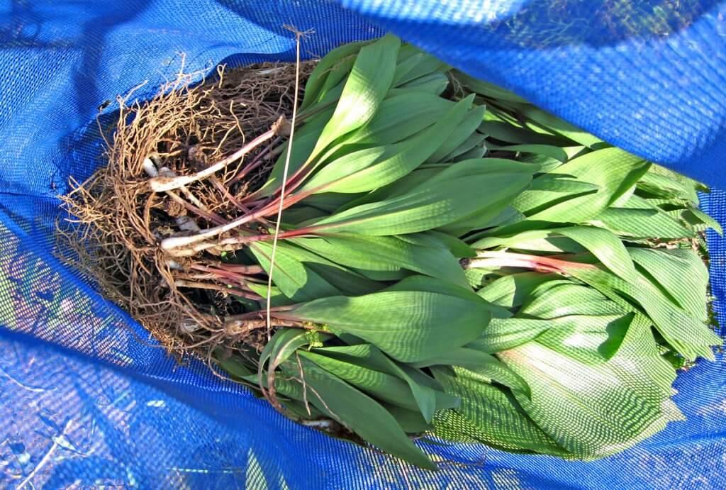 Bag of Ramps (Allium tricoccum)