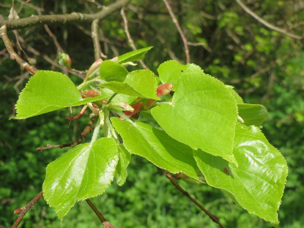 Young Little Leaf Linden Leaves