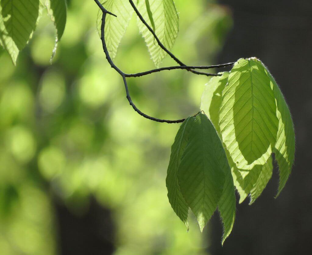 Fagus grandifolia leaves