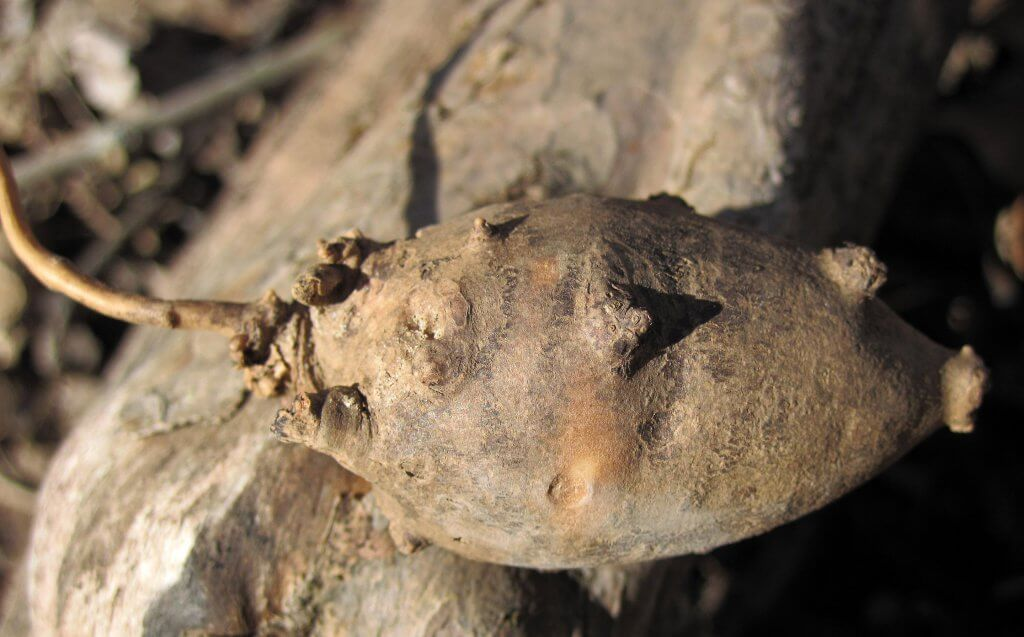 Apios americana - American groundnut tuber in Ohio
