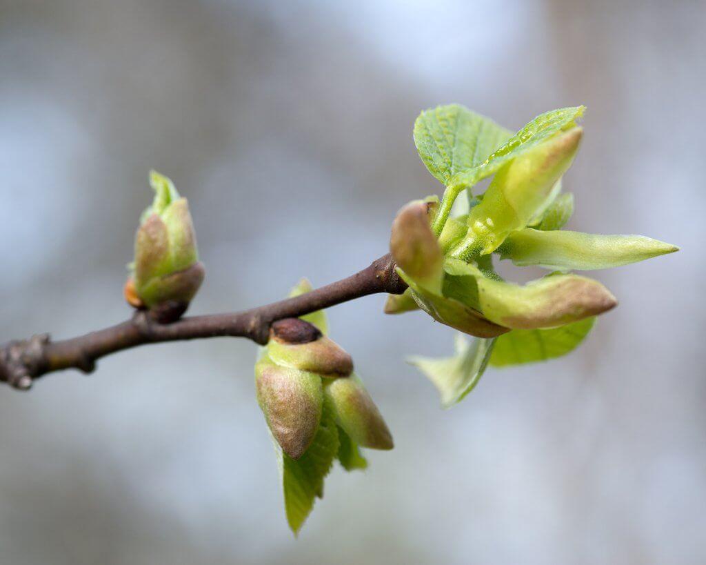 Tilia americana (American Linden) juvenile leaves