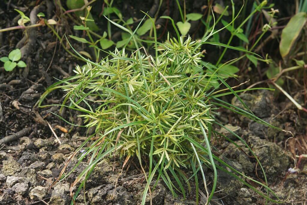 Chufa (Cyperus esculentus)