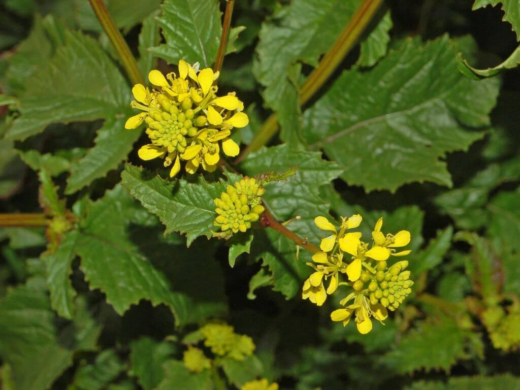Wild Mustard Flowers (Sinapis arvensis)