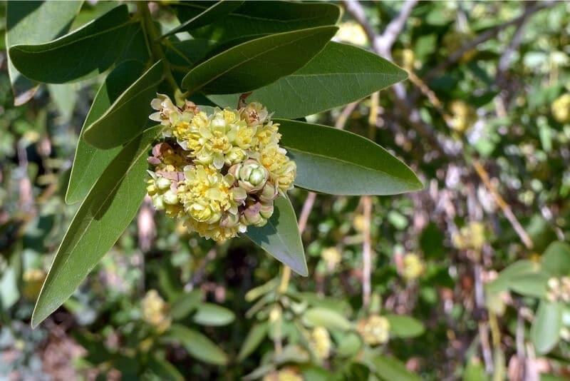 Wild Bay Leaf - Native American Plant